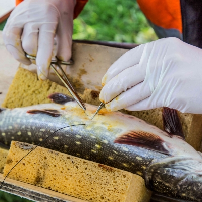 Pike Tagging Project at the Meuse River, Belgium (2017-11-02)